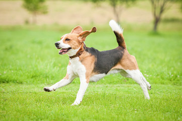 Happy beagle dog running with flying ears