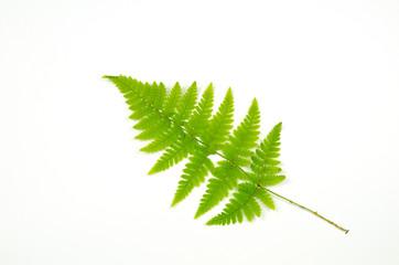 Green bracken twig