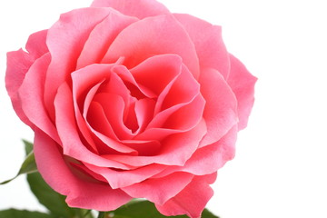 Pink rose with the green stem isolated on white background