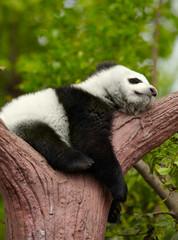 Wall Mural - Sleeping giant panda baby