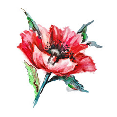 Watercolor painting: red poppy isolated on white
