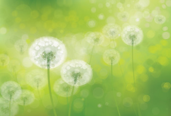 Vector spring bokeh background with white dandelions.