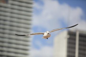 Seagull birds in flight in the city of Miami
