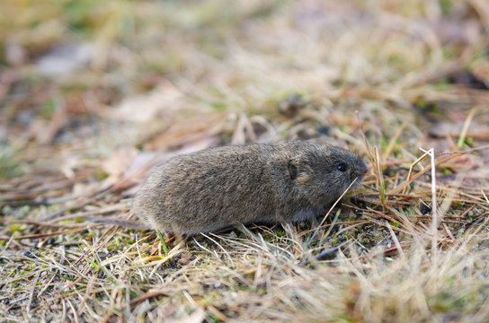 Mouse vole, close-up
