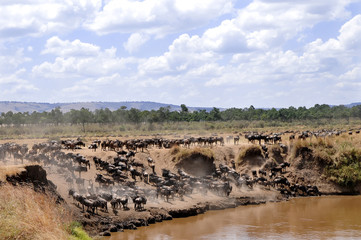 Wildebeests on the Masai Mara in Africa