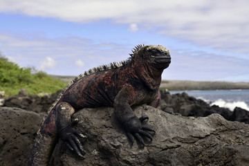 Galapagos marine iguana ウミイグアナ