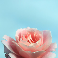 Blue background and pink rose down