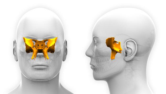 Male Sphenoid Skull Anatomy - isolated on white