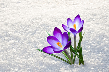 Photo sur cadre textile Crocus first crocus flowers