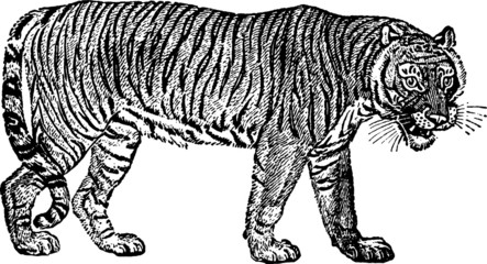 Vintage Illustration tiger