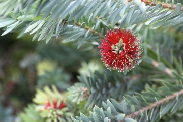 Dwarf Bottle Brush Flower