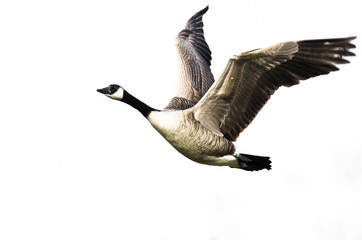 Canada Goose Flying on White Background with Wings Outstretched