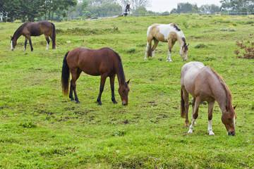 Beautiful brown horses grazing