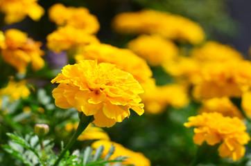 Yellow Marigolds (Tagetes erecta on blur background