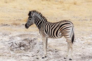 Young zebra in african bush