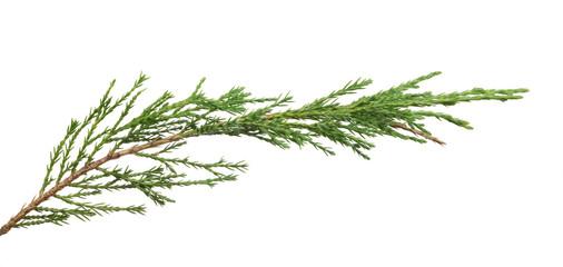 green isolated thuya branch