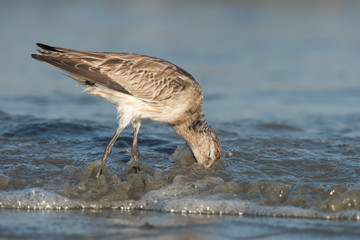 Bar-tailed Godwit (Limosa lapponica) plunging its head into the