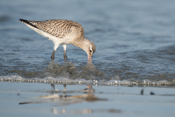 Bar-tailed Godwit (Limosa lapponica) probing below the waves for
