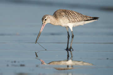 Bar-tailed Godwit (Limosa lapponica) pulling a worm out of wet s