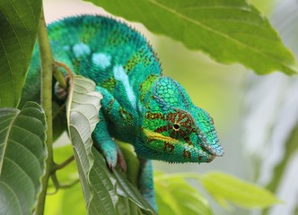Green panther chameleon from Nosy Be
