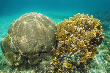 Symmetrical brain coral and Bladed fire coral