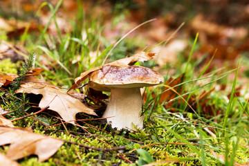 Mushroom in the forest, Boletus Edulis species, autumn colors co