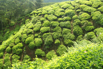 Wall Mural - green tea plantations