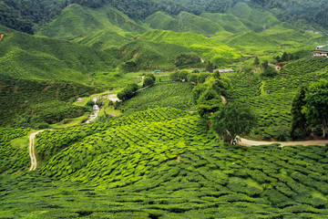 Wall Mural - tea plantations landscape