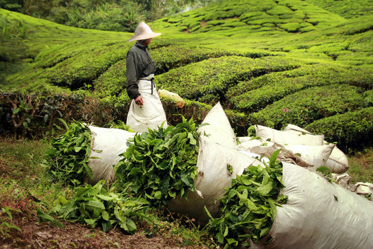 bags full of tea leaves harvested on tea plantation