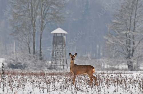 Roe deer in winter with hunting tower in the background