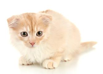 Cute little Scottish fold kitten, isolated on white