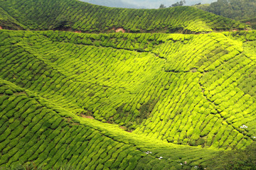 Wall Mural - beautiful green tea plantations landscape