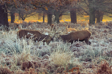 Fototapete - Red deer