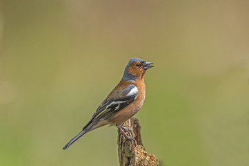 Chaffinch perched on a tree stump