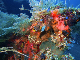 Sea squirts, Island Bali, Tulamben