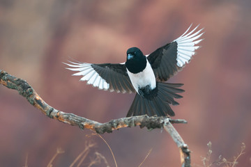 Eurasian magpie in flight