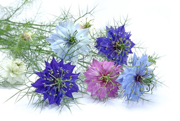 Photos illustrations et vid os de nigelle - Nigelle de damas ...