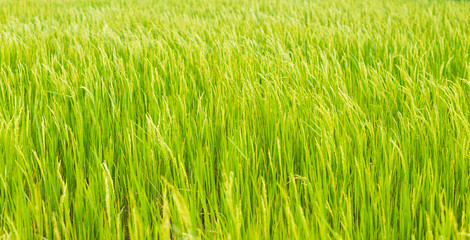 Green rice crop background