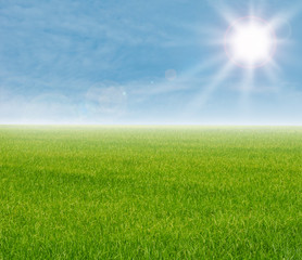 Green rice field with blue sky background