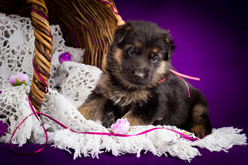 German shepherd puppy sitting in a basket. Purple background.
