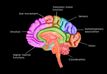 Human Brain lntersection