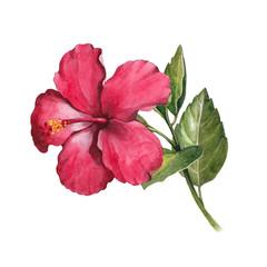 Watercolor hibiscus flower illustration