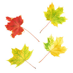Four autumn maple leaves isolated