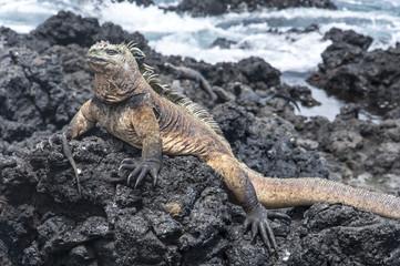 Giant iguana, galapagos islands