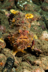 Freckled frogfish in Ambon, Maluku, Indonesia underwater
