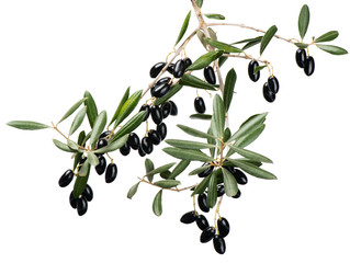 Olive twig with black fruits over white