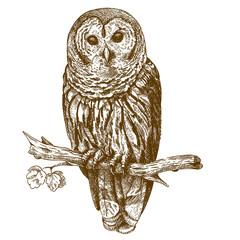 Engraving antique illustration of owl