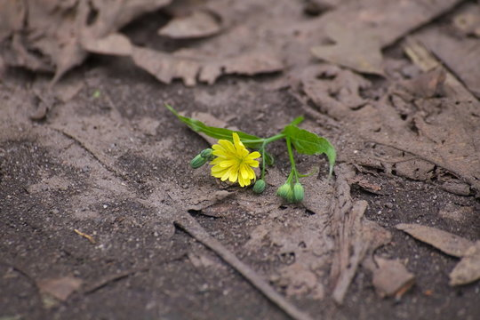 Nipplewort (Lapsana communis) blossom lying on the ground