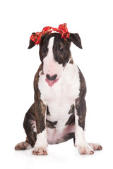 funny bull terrier puppy with ribbons on her ears