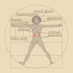 endocrine system on the Vitruvian Man